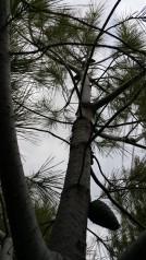 serotinous cone Pinus brutia